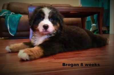 Bernese Mountain Dog Breeder - Southern Paw Companions
